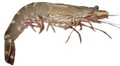 草蝦-天然野生大海草蝦 產品圖展示