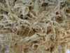 野生珊瑚草