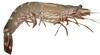 草蝦-天然野生大海草蝦