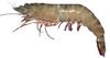 花蝦-感遠勝一般養殖草蝦,許多專業特色餐廳已全面改用花蝦。