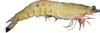黃金蝦-天然野生香蕉蝦口感大勝沙蝦,為白蝦、草蝦外之明星新秀。